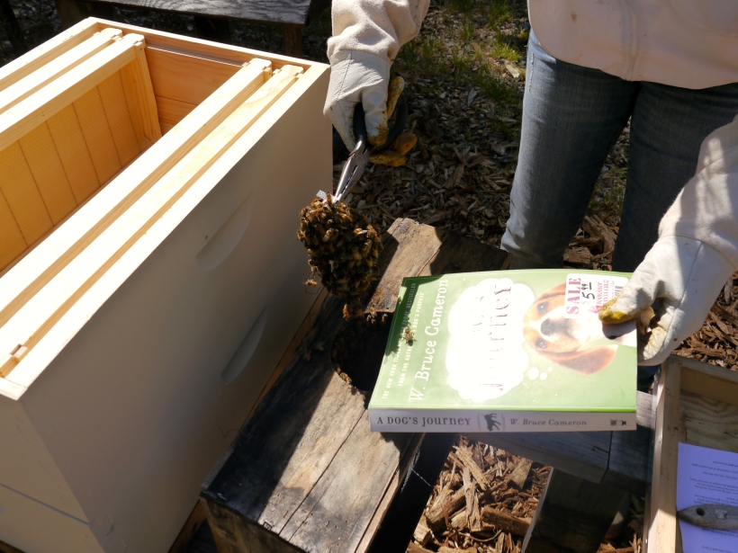 Here I'm removing the queen cage that was COVERED with bees!